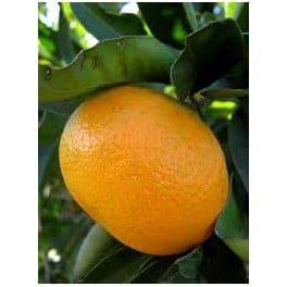 mandarina_ecologica_owari_arbol