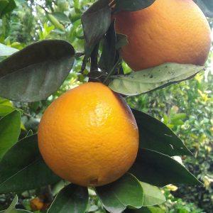 Naranjas ecológicas Navelina mesa