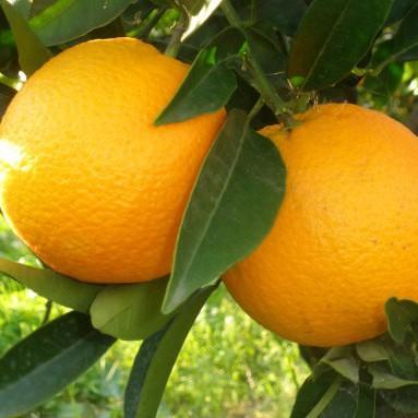 naranjas_ecológicas_zumo_navelina