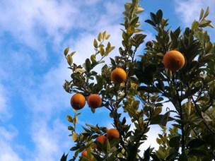 naranjas ecológicas en casa